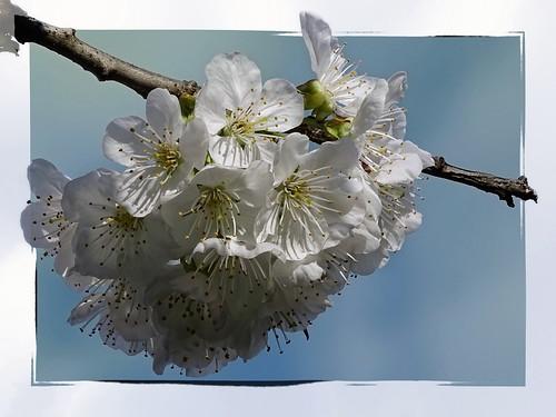 Die Kirschen blühen ...