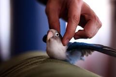 Pájaros con complejo de avión. (OdecamJ) Tags: pet bird home plane fly flying casa parrot pico pajaro lovebird mascota loro avion agapornis plumas volando volar agaporni