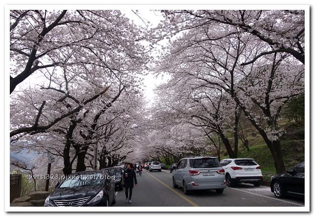 화개십리벚꽃길13