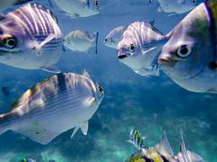 D1563E7 - Roatan Fish Too Close (Bob f1.4) Tags: camera sea fish bay photo underwater snorkel infinity honduras resort fujifilm caribbean roatan reef xp70
