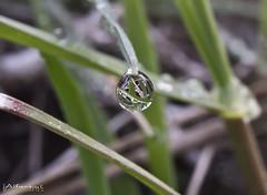 Droplet ( alfanhu) Tags: hoja grass leaf drop dew droplet gota sella rosada fulla roco lareal herba gotita goteta
