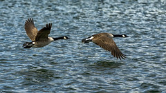 In Flight (dave:w:) Tags: lake canada water geese flight goose aquadrome a6000
