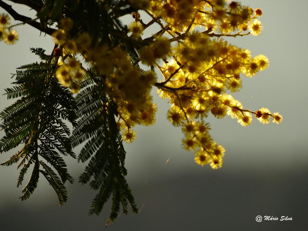 Águas Frias (Chaves) - ... simplesmente mimosas ...