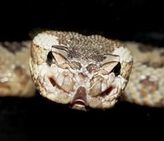 Rattlesnake Friday! (EcoSnake) Tags: education snakes reptiles littleguy greatbasinrattlesnake crotalusoreganuslutosus