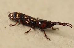 Oak Timberworm (drbeanes) Tags: oak beetle weevil minutus brentidae timberworm arrhenodus