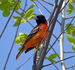 Baltimore oriole (carpingdiem) Tags: birds spring indianapolis baltimoreoriole
