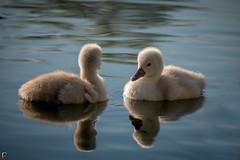 Symmetry - Swan Cygnets (JTPhotography) Tags: baby lake cute nature swimming river swan sweet wildlife cygnet schwan niedlich kken ss panasonic45200mm panasoniclumixg6