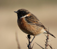 Stonechat (Peanut1371) Tags: brown white bird chat stonechat nationalgeographicwildlife