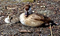 Copier - coller... (Diegojack) Tags: nikon oiseaux canards morges canetons netterousse nikonpassion d7200