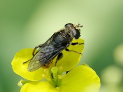 Lejops polygrammus (carlos mancilla) Tags: insectos flies moscas raynoxdcr250 olympussp570uz lejopspolygrammus