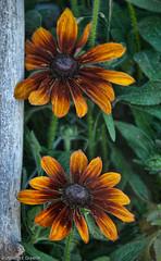 _DSC0029 (rbird1286) Tags: flowers rudbeckia