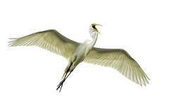Great in Flight (Jeff Clow) Tags: usa nature birds outside outdoors flying spring wings texas flight soaring behavior majestic mothernature greategret soar greatwhiteegret beautyinnature jeffrclow