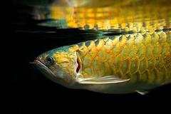 Golden Scales (imageClear) Tags: fish chicago nature beauty aquarium golden illinois aperture nikon flickr scales sheddaquarium d600 imageclear phototstream 2470mmvr