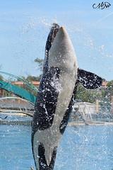 moana (neku.chou) Tags: dolphin orca dauphin killerwhale marineland moana orcinus antibe orque inouk wikie animalphotographie killerswhale