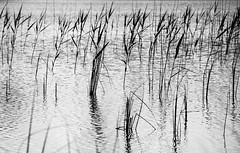 Ripples (Phil_Moore) Tags: uk travel light summer sun white lake black reflection water monochrome beautiful beauty contrast reeds reflecting moody relaxing dramatic calm northumberland ripples rushes 500px ifttt