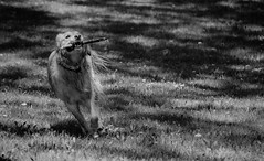 Learning to play! (Kat Hatt) Tags: dog stick running happy napanee park ontario canada kathatt shadows fotocompetitionbronze