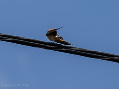 Barn Swallow High Wire Cleaning (Gabriel FW Koch) Tags: blue wild orange brown sun sunlight white black nature clouds canon eos flying spring wings dof wildlife flight bluesky telephoto barnswallow songbird lseries