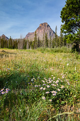 Asters in Two Medicine, Glacier National Park (synaesthesia24) Tags: flowers summer mountains nature field landscape montana hiking wildflowers glaciernationalpark asters sinopah twomedicine