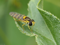 Long Hoverfly (jesse_the_ros) Tags: white plant black macro nature netherlands animal june yellow insect photography leaf spring long outdoor exploring olympus explore 60mm wandering animalia arthropoda hoverfly syrphidae diptera insecta scripta bleiswijk rottemeren sphaerophoria