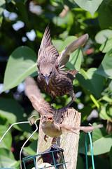 Garden Birds (Richard Brothwell) Tags: birds garden feeders gardenbirds sigmalenses sigma150500 sigma150500mmf563dgoshsm canoneos70d richardbrothwell