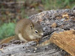 Red Squirrel (royckmeyer) Tags: rodent squirrel banffnationalpark