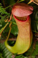 Nepenthes (Cameron de Jong) Tags: ferns pitcher nepenthes