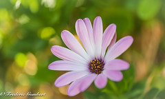 a piece of Summer (frederic.gombert) Tags: pink flowers light summer sun white flower color macro green colors yellow spring nikon ray dof bokeh d810