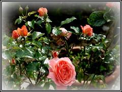 P1140365-001 Pink Abundance rose bush (hartley_hare7491) Tags: pink abundance