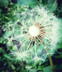 We cannot direct the wind,  but we can adjust the sails. (σℓγα ƸӜƷ) Tags: flower spring peace blow inner dandelion springtime makeawish