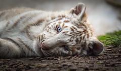 White Tiger Cub (Jasper Gielen) Tags: nikon tijger tigre whitetiger 80400mm pantheratigris amnville wittetijger tigreblanco welp tigreblanc zoodamnville d5300 tijgerwelpjes