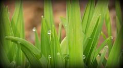 Drops on Green (gummybear402) Tags: green nature grass closeup dewdrops nikon nebraska omaha vignette waterdroplets l330