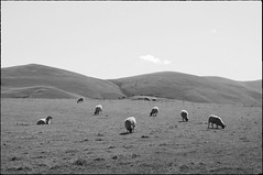 _DSC9388a (andy.sheppard) Tags: sheep lakedistrict hills cumbria