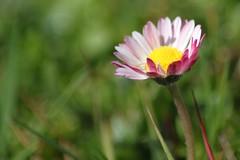 pquerette 4 (kevin2367) Tags: pink flowers white flower nature fleur rose yellow fleurs jaune spring purple violet daisy bloom common blanc printemps blooming canon500d pquerette floraison kevin2367