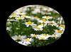"Marguerite(mokushiungiku) (karakutaia) Tags: sun tree love nature japan paper temple tokyo heart afotando ""flickraward"" flickrglobal allbeautifulshotsandmanymoreilovenature flowerstampblackandwhite transeguzkilorestreetarturbanagreatshotthisisexcellentcontestmovementricohgxr""serendipitygroupbluenatureicapturecardjapanesepapercardflickraward5""j trasognoerealtabstractelementsorganizersimplysuperb"
