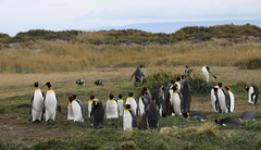 King Penguin colony with upland geese (Paul Cottis) Tags: chile patagonia tierradelfuego penguin march goose 31 2015 paulcottis