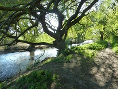 Tree on the River Cray (hannahgoing) Tags: tree london river londonloop rivercray londonloopstageone