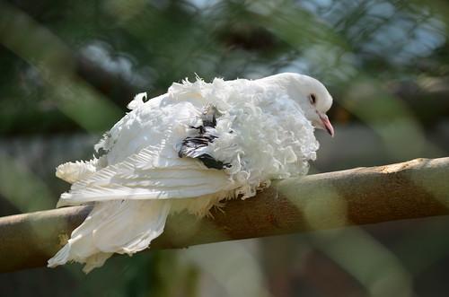 Hairy dove