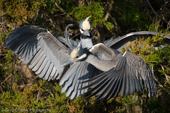 Beat it! (greg obierek) Tags: bird heron nature canon newjersey wildlife nj oceancity avian yellowcrownednightheron nyctanassaviolacea wadingbird specanimal specanimalphotooftheday ycnh ef500mmf4isl ef14xiii eos7dmkii