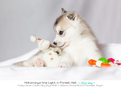 Day 32 Maharanya (Emyan) Tags: dog animals puppy puppies husky details here more siberians httpemyanmeiblogspotcompblogpage7html
