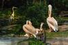 Pelikane am Wasser (Jutta M. Jenning) Tags: fauna tiere wasser rosa fluegel gross pelikan tier schnabel pflege feder wasservogel pelikane gefieder wasservoegel pelicanus standvogel ruderfuesser dedern standvoegel