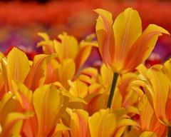 (armykat) Tags: flowers floral garden tulips tulip longwoodgardens natureycrap kennettsquarepennsylvania tulipalooza tulipalooza2015