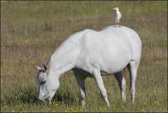 Héron garde-boeufs (Bubulcus ibis) (Laurent Cornu) Tags: cheval avril espagne blanc héron 2015 bubulcusibis canon500f4 échassier mainlevée hérongardeboeufs estrémadure ardéidés saucedilla pélécaniformes westerncattleegret 7dii