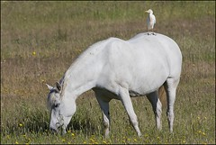 Hron garde-boeufs (Bubulcus ibis) (Laurent Cornu) Tags: cheval avril espagne blanc hron 2015 bubulcusibis canon500f4 chassier mainleve hrongardeboeufs estrmadure ardids saucedilla plcaniformes westerncattleegret 7dii