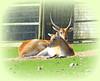 Pair Of Lechwe! ('cosmicgirl1960' NEW CANON CAMERA) Tags: orange green grass animals zoo horns deer devon curly antelope lying dartmoor twisted enclosure lechwe yabbadabbadoo dzp