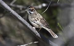 Lark Sparrow (Chondestes grammacus); Sweetwater Wetlands, Catalina, AZ, Catalina Regional Park [Lou Feltz] (deserttoad) Tags: park arizona plant tree bird nature desert wildlife sparrow wildbird