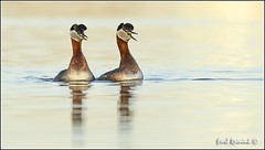 Courting Red-necked Grebe (Earl Reinink) Tags: morning light ontario canada water sunrise nikon earl waterfowl grebe d5 naturephotography nikond5 redthroatedgrebe earlreinink reinink aduuduhdra