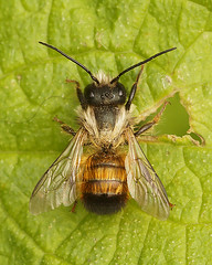 Osmia cornuta, male (henk.wallays) Tags: