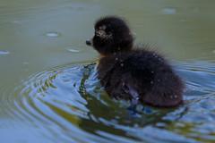 Duckling (zarlock81) Tags: birds duck wildlife duckling mallard ente anasplatyrhynchos stockente