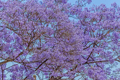 mirando encima la Jacarand (von Renate Bomm) Tags: haven andaluca natur bleu cielo blte andalusien spanien mlaga baeume 2016 366 jacarandabaum awardtree palisanderholzbaum flickrunitedaward renatebomm