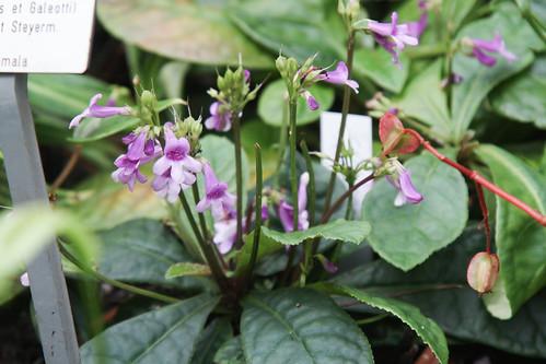 Tetranema roseum